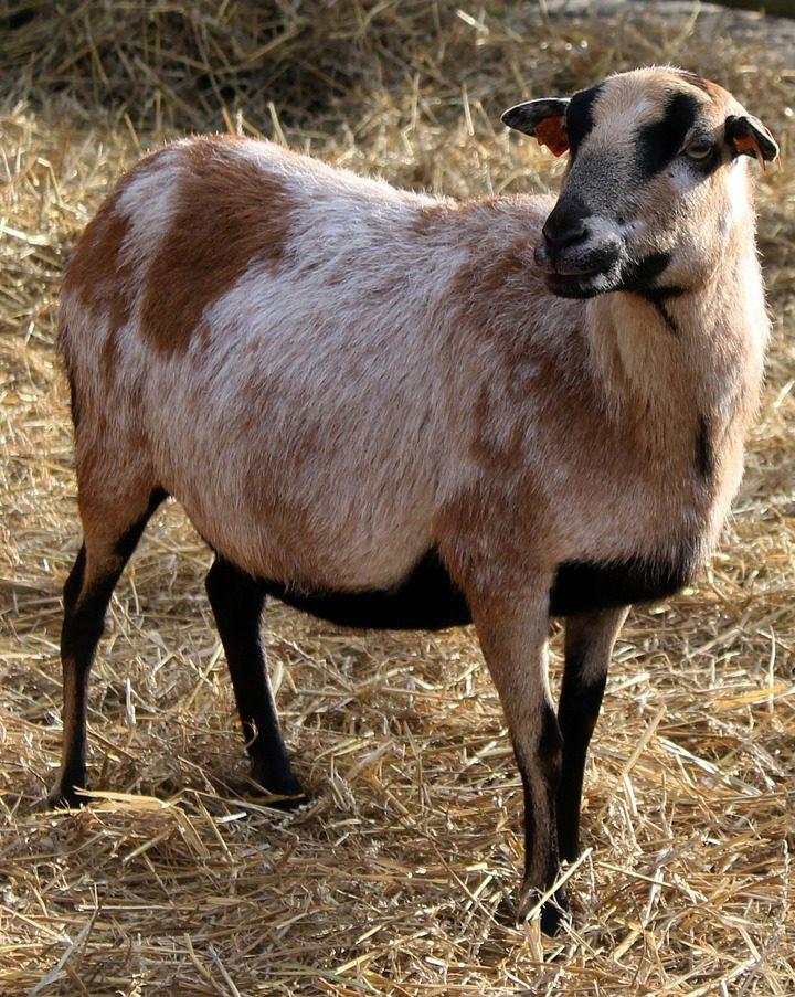 Karmienie zwierząt paszą sojową ma wiele zalet dla hodowców