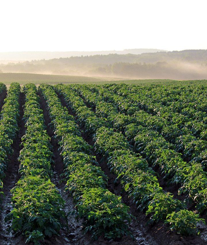 Postaw na sprawdzone rozwiązania, gdy idzie o ochronę ziemniaków przed chwastami